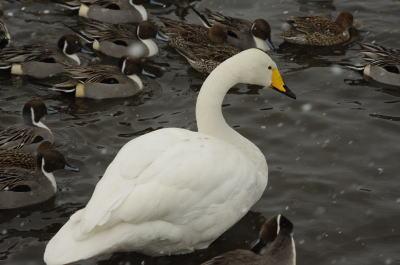 大池の白鳥①