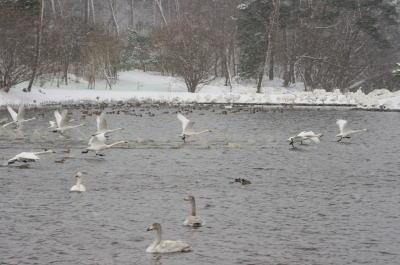 大池の白鳥③