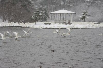 大池の白鳥④