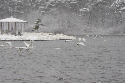 大池の白鳥⑤