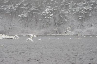 大池の白鳥⑥