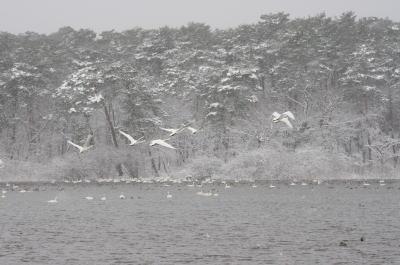 大池の白鳥⑦