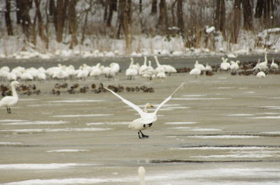 大池の白鳥(その2)①